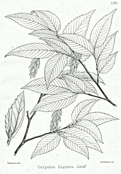 planche botanique du charme faginé