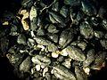 Carpologie-Graines-carbonisees.JPG