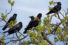 pola trys juodos varnos