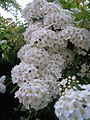 Cascata di fiori, ElmAgos garden in Udine in Friuli....JPG
