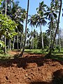 Cassava Field with Coconut Palms - Spice Plantation - Outside Stone Town - Zanzibar - Tanzania (8869329830).jpg