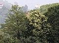 Castanea sativa - Anatolian sweet chestnut 01.jpg