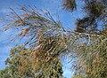Casuarina cunninghamiana flowers.jpg