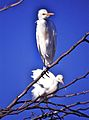 Cattle Egrets (Bubulcus ibis) (8291825804).jpg