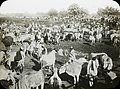 Cattle fair at Sonepur, India, 1913 (IMP-CSCNWW33-OS14-34).jpg