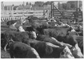 Cattle in stockyard sales pen. Halliday, North Dakota - NARA - 285345.tif