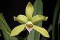 Cattleya xanthina (Espírito Santo, Brasil) (Lindl.) Van den Berg, Neodiversity 3- 12 (2008) (35117148643).jpg