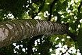 Cecropia obtusifolia 44zz.jpg