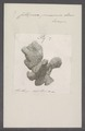 Cellepora pumicosa - - Print - Iconographia Zoologica - Special Collections University of Amsterdam - UBAINV0274 093 05 0003.tif