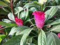 Celosia argentea (Cocks comb) in bd 02.jpg