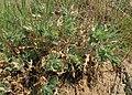 Centaurea benedicta kz02.jpg