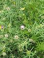 Centaurea calcitrapa (14584556372).jpg