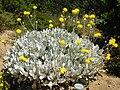 Centaurea ragusina 3 (Corse).JPG