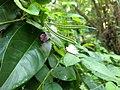 Centrosema molle- butterfly peaspurred, butterfly pea, Kattupayar 3.jpg