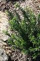 Cephalotaxus harringtonia Duke Gardens 1zz.jpg