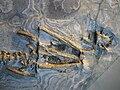 Ceresiosaurus calcagnii 2.JPG