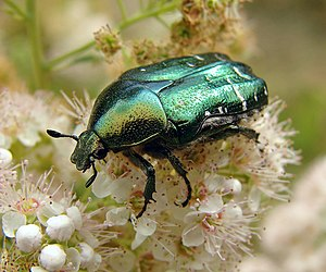 A shiny green beetle with an iridescent sheen crawls over a head of white blossom.