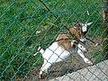 Chèvre (Capra aegagrus hircus) (02).jpg