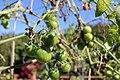 Chadwick Arboretum and Learning Gardens (43753179020).jpg