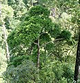 Chamaecyparis hodginsii, Ruyuan, Shaoguan, Guangdong, China 1.jpg
