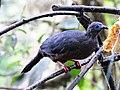 Chamaepetes goudotii -Mindo, Ecuador-8.jpg