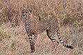 Cheetah Cub (28266416385).jpg