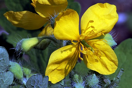 Flower of plant Chelidonium majus