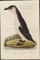 Chenalopex torda - 1770-1829 - Print - Iconographia Zoologica - Special Collections University of Amsterdam - UBA01 IZ17800185.tif