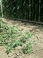 Chenopodium vulvaria sl133.jpg