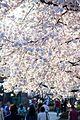 Cherry blossoms 0013 - Washington DC - 2014-04-10 (13773238164).jpg