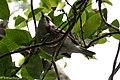 Chestnut-sided Warbler (male) Sabine Woods TX 2018-04-22 14-09-07 (41092256925).jpg
