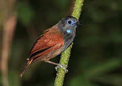 Chestnut-winged Babbler, Danum Valley, Borneo (5836179271).jpg