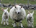 Cheviot ewe and twins, Isle of Lewis.jpg