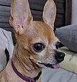 ChihuahuaTongueExample.jpg