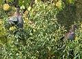 Chilean Pigeons.jpg
