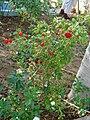 Chilli Dandicut plant.JPG