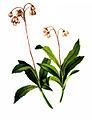 Chimaphila umbellata-4, by Mary Vaux Walcott.jpg