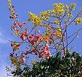 Chinese-Golden-rain tree (Koelreuteria elegans), Sao Paulo Brazil.jpg