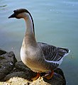 Chinese goose in Locarno 1.jpg