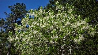 <i>Chionanthus virginicus</i> Species of tree