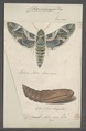 Choerocampa - Print - Iconographia Zoologica - Special Collections University of Amsterdam - UBAINV0274 062 08 0002.tif