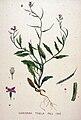 Chorispora tenella — Flora Batava — Volume v20.jpg