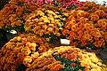 Chrysanthemum Argos Orange 1zz.jpg