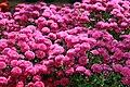 Chrysanthemum x grandiflorum Marjorie 1zz.jpg