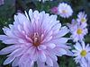 Chrysanthemums (4).jpg