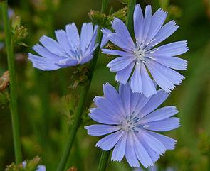Blütenstände der Gewöhnlichen Wegwarte (Cichorium intybus)