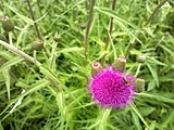 Cirsium-helenioides-melancholy-thistle-0a.jpg