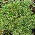 Cladonia subradiata? (4504881408).jpg