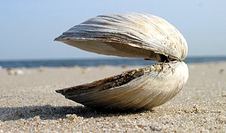 Clam - A clam shell (species Spisula solidissima) at Sandy Hook, New Jersey
