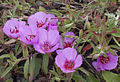 Clarkia rubicunda.jpg